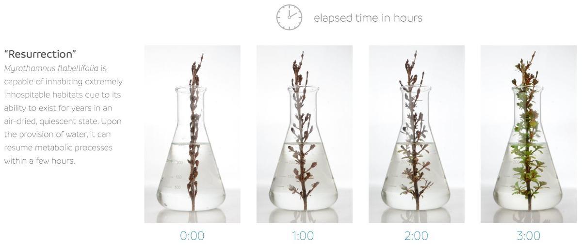 Resurrection plant myrothamnus time lapse